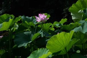 蓮の花の写真素材 [FYI01194761]