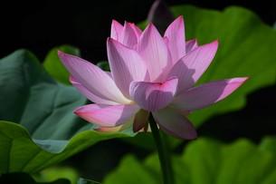 蓮の花の写真素材 [FYI01194762]