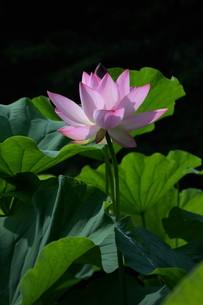 蓮の花の写真素材 [FYI01194763]