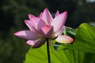 蓮の花の写真素材 [FYI01194766]