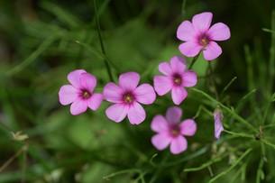 イモカタバミ(芋片喰)の花の写真素材 [FYI01194869]