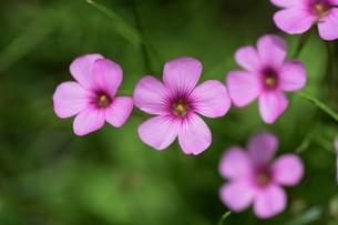 イモカタバミ(芋片喰)の花の写真素材 [FYI01194870]