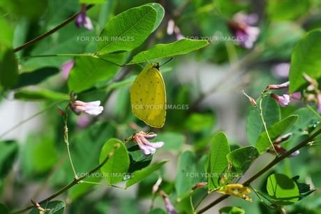 キチョウ(黄蝶)の写真素材 [FYI01194886]