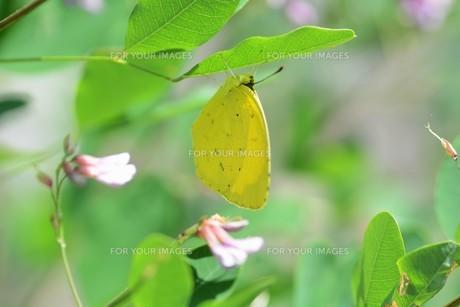 キチョウ(黄蝶)の写真素材 [FYI01194887]