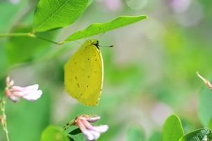 キチョウ(黄蝶)の写真素材 [FYI01194888]