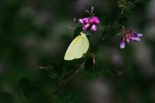 キチョウ(黄蝶)の写真素材 [FYI01194889]