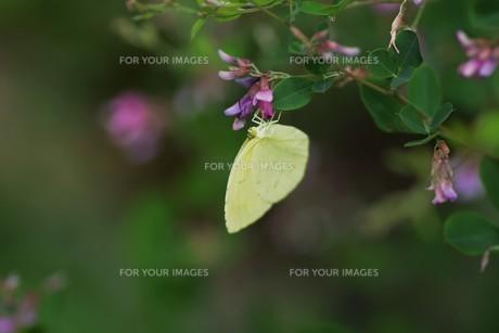 キチョウ(黄蝶)の写真素材 [FYI01194890]
