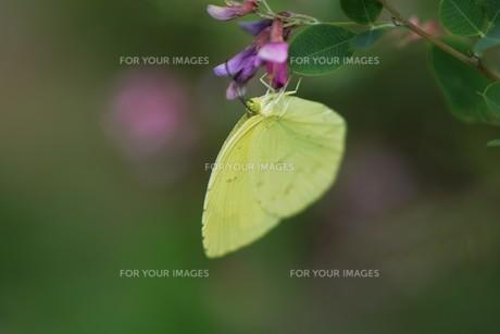 キチョウ(黄蝶)の写真素材 [FYI01194891]