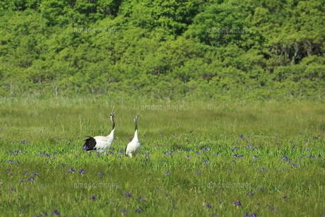 アヤメ咲く湿原のタンチョウの写真素材 [FYI01194897]