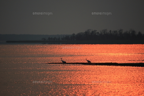 夕暮れのタンチョウの写真素材 [FYI01194904]