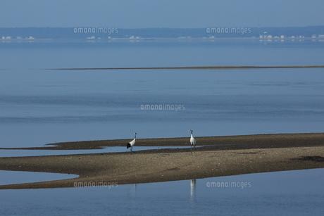 水辺のタンチョウの写真素材 [FYI01194907]