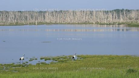 立ち枯れの沼のタンチョウの写真素材 [FYI01194914]