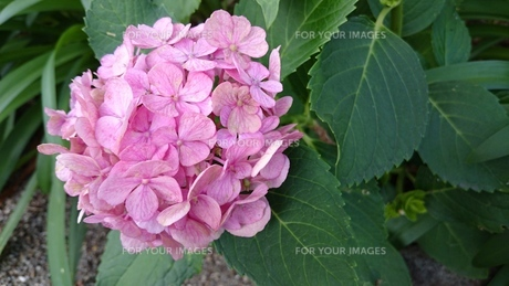 朽ちる紫陽花の写真素材 [FYI01195040]