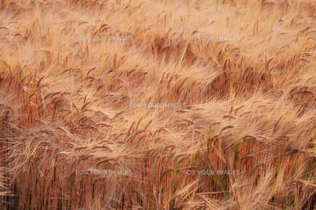 麦秋の写真素材 [FYI01195049]
