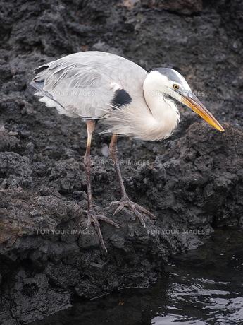 岩場の鳥の写真素材 [FYI01195210]