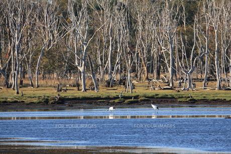 立ち枯れの沼のタンチョウの写真素材 [FYI01195337]