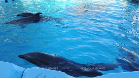 イルカの遊泳の写真素材 [FYI01195372]