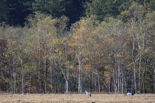 タンチョウ 紅葉の頃の写真素材 [FYI01195383]