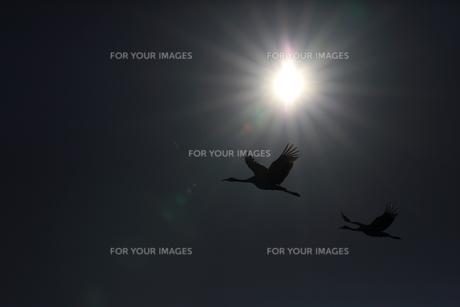タンチョウの飛翔の写真素材 [FYI01195389]