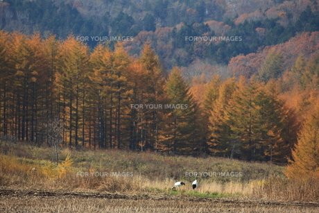 タンチョウ 紅葉の頃の写真素材 [FYI01195390]