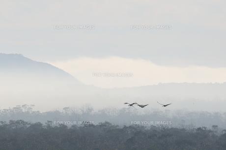 タンチョウの飛翔の写真素材 [FYI01195415]