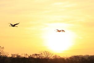 タンチョウの飛翔の写真素材 [FYI01195416]