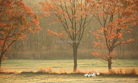 タンチョウ 紅葉の頃の写真素材 [FYI01195417]