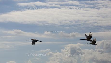 タンチョウの飛翔の写真素材 [FYI01195418]