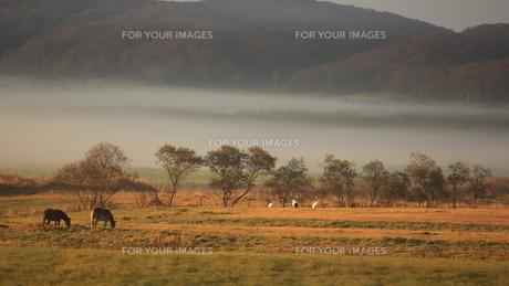 タンチョウ 霧の日の写真素材 [FYI01195423]