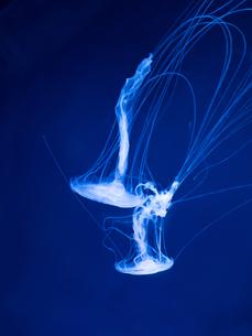 アマクサクラゲの写真素材 [FYI01195448]
