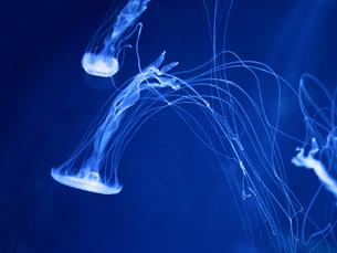 アマクサクラゲの写真素材 [FYI01195450]