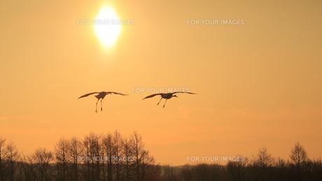 タンチョウ 朝陽に飛ぶの写真素材 [FYI01195499]
