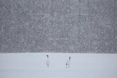 雪の日のタンチョウの写真素材 [FYI01195515]