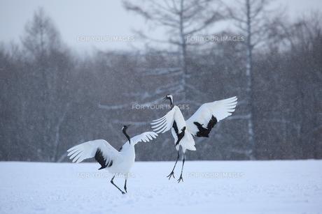タンチョウ 雪原のダンスの写真素材 [FYI01195520]