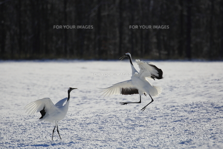 タンチョウ 雪原のダンスの写真素材 [FYI01195524]