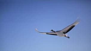 タンチョウ 青空に飛ぶの写真素材 [FYI01195526]