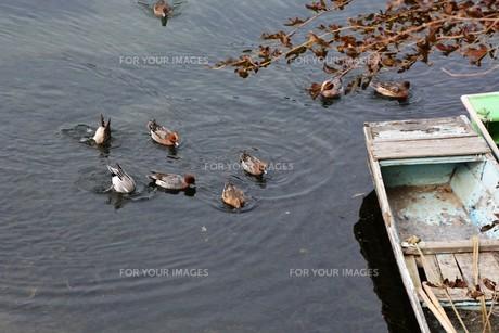 鴨の競泳 / 山口県岩国市錦川の写真素材 [FYI01195527]