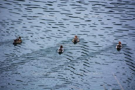 鴨の競泳 / 山口県岩国市錦川の写真素材 [FYI01195528]