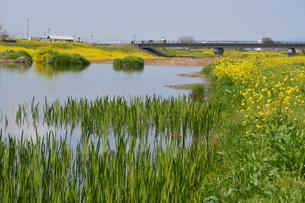 黄色い花じゅうたん / 菜の花の咲くころの写真素材 [FYI01195574]