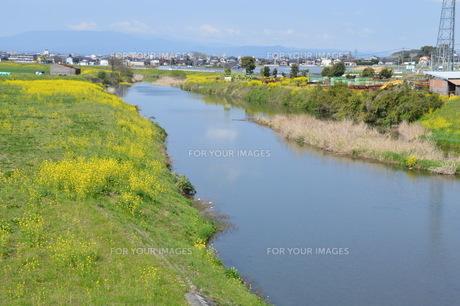 黄色い花じゅうたん / 菜の花の咲くころの写真素材 [FYI01195576]