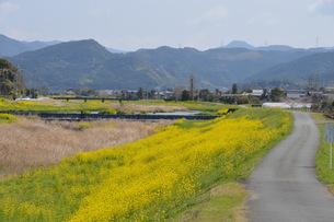 黄色い花じゅうたん / 菜の花の咲くころの写真素材 [FYI01195580]
