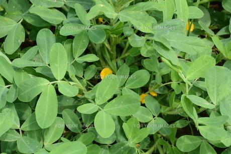 落花生(ピーナッツ)栽培の写真素材 [FYI01195790]