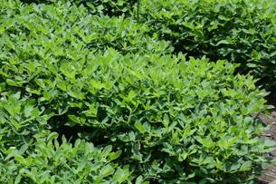 落花生(ピーナッツ)栽培の写真素材 [FYI01195792]