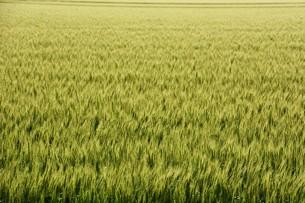 初夏の風に揺れる小麦の穂 / 九州福岡県朝倉市の写真素材 [FYI01196128]