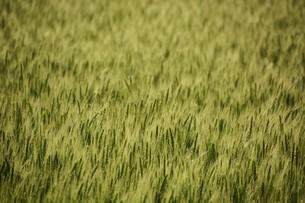 初夏の風に揺れる小麦の穂 / 九州福岡県朝倉市の写真素材 [FYI01196129]