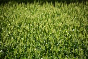 初夏の風に揺れる小麦の穂 / 九州福岡県朝倉市の写真素材 [FYI01196130]