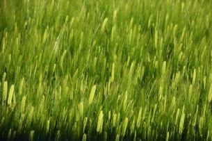 初夏の風に揺れる小麦の穂 / 九州福岡県朝倉市の写真素材 [FYI01196131]
