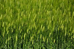 初夏の風に揺れる小麦の穂 / 九州福岡県朝倉市の写真素材 [FYI01196132]