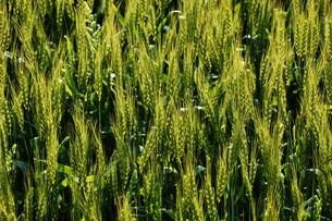 初夏の風に揺れる小麦の穂 / 九州福岡県朝倉市の写真素材 [FYI01196133]
