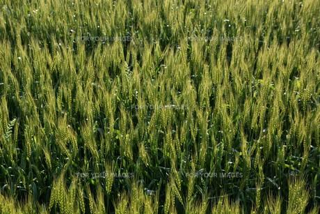 初夏の風に揺れる小麦の穂 / 九州福岡県朝倉市の写真素材 [FYI01196134]